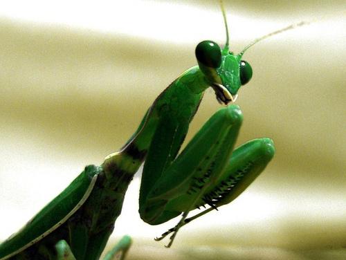praying-mantis.jpg