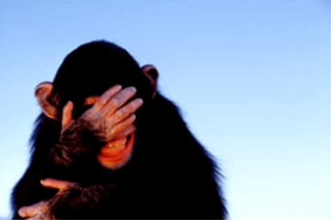 embarrassed-chimpanzee_tim-davis.jpg