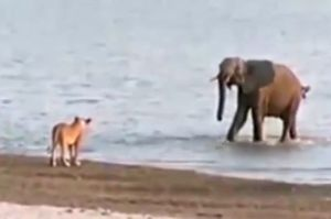 Baby-elephant-takes-on-14-lions